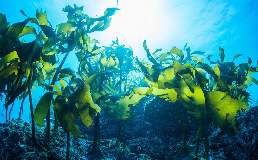 Les algues : une question multi-facettes